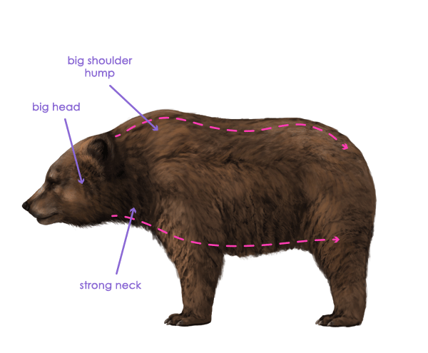 How to Draw Animals: Bears and Pandas, and Their Anatomy | drawing ...