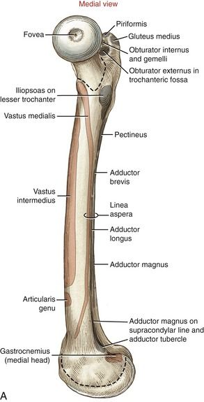 femoral insertions | Anatomy and Physiology | Pinterest | Anatomy ...