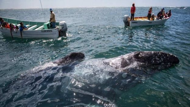 Prevén arribo de 5 mil ballenas a santuarios de BCS