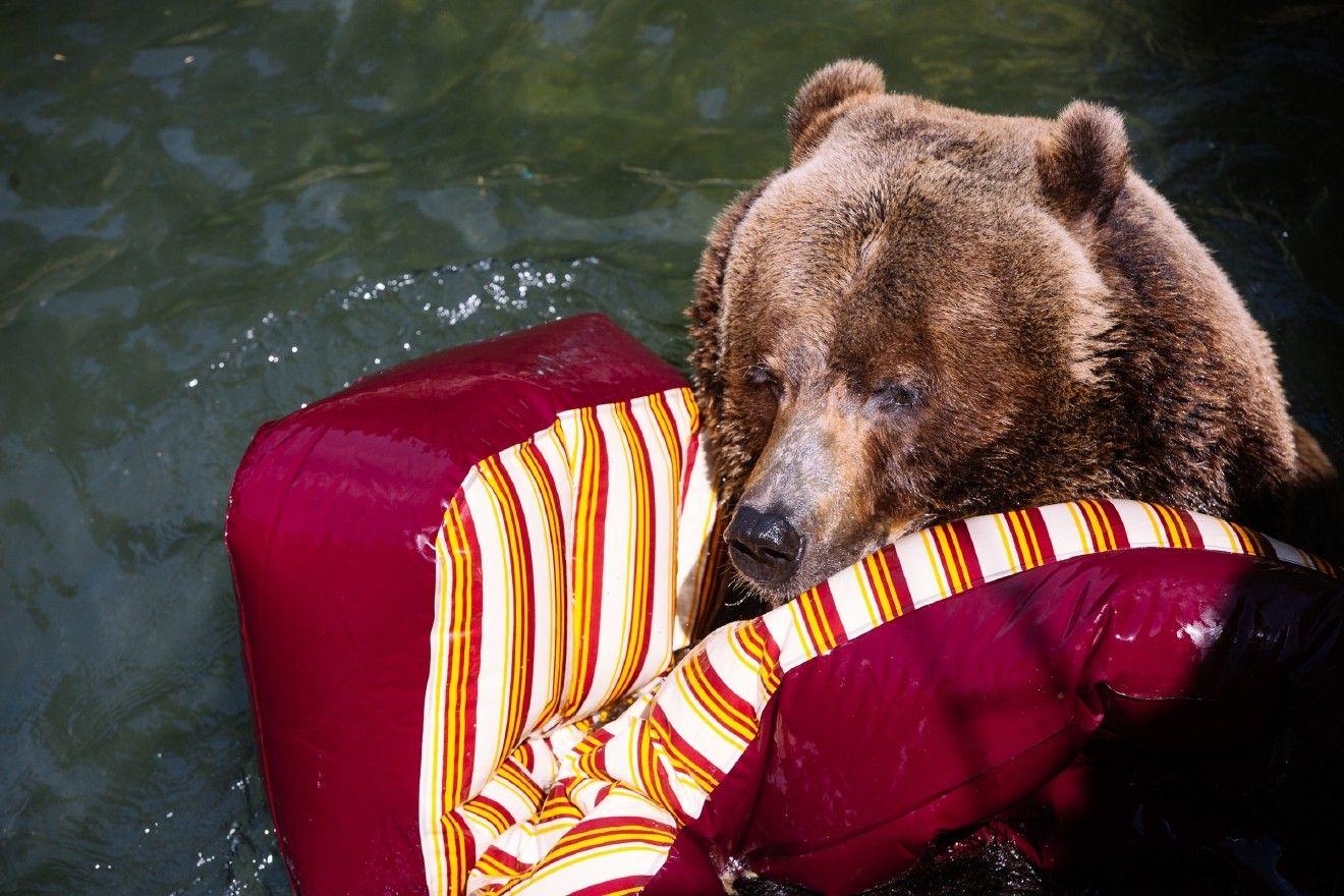 Photos Bears Tear Apart A Birthday Party For Wpz S Bear Affair Bear Woodland Park Zoo Grizzly Bear