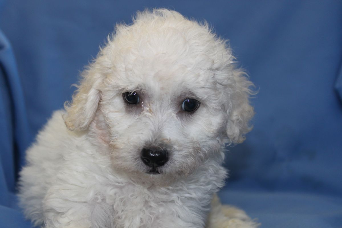 Pin by Betty Casner on My Town Newville Pa | Maltipoo