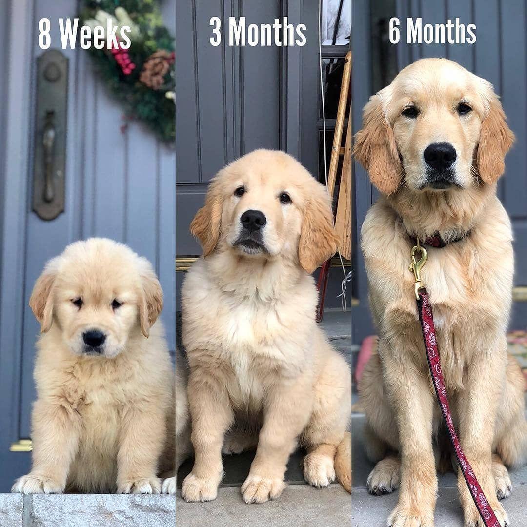 Golden Retriever Puppy Growth Week By Week Pictures Retriever