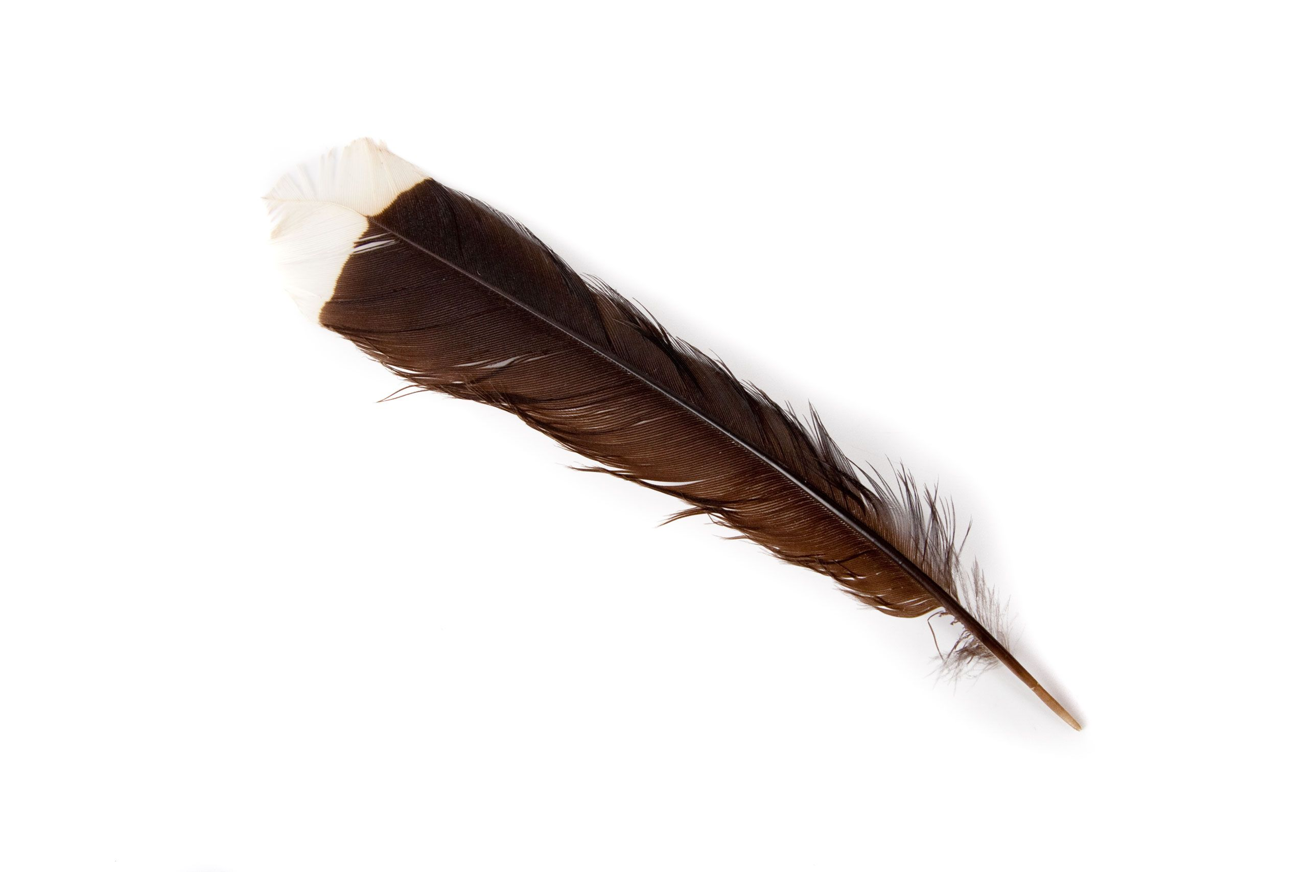 Feather of a Huia bird