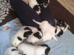 Beagle X Jack Russell Pups For Sale Ready Now Puppies For