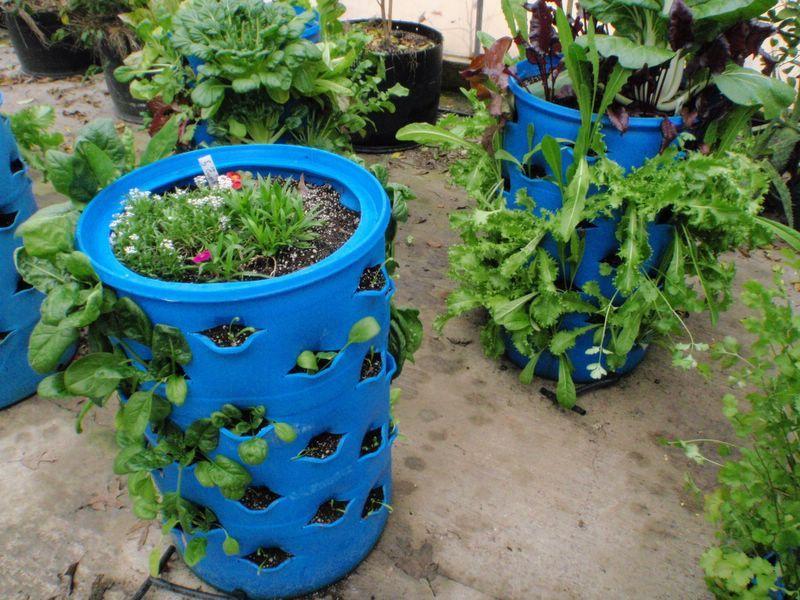 Blue barrel garden another use for those blue barrels Plants