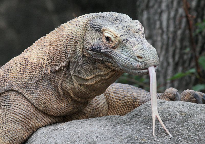 Dragon Animal Planet Komodo Dragon Komodo Dragon Pictures