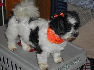 Adopt Cricket On Petfinder Shih Tzu Dog Pets Dogs