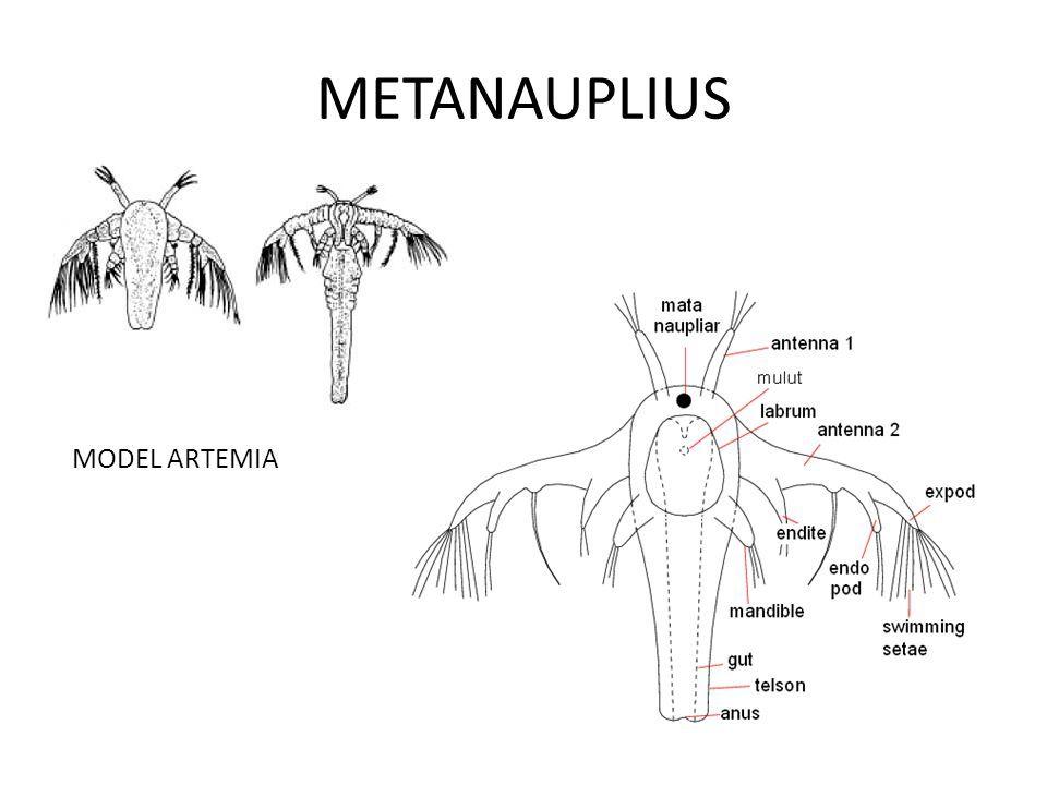 CRUSTACEA (Crustáceo, Crustacean) - Larvas Náuplio e Metanáuplio e ...