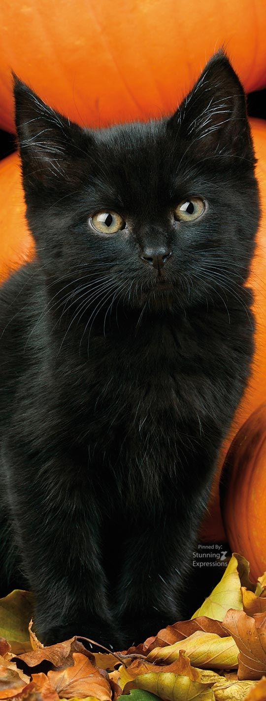 ️ BℓαᏣƙ =^.^= CÅt§ ♥ Animal lover, I love cats