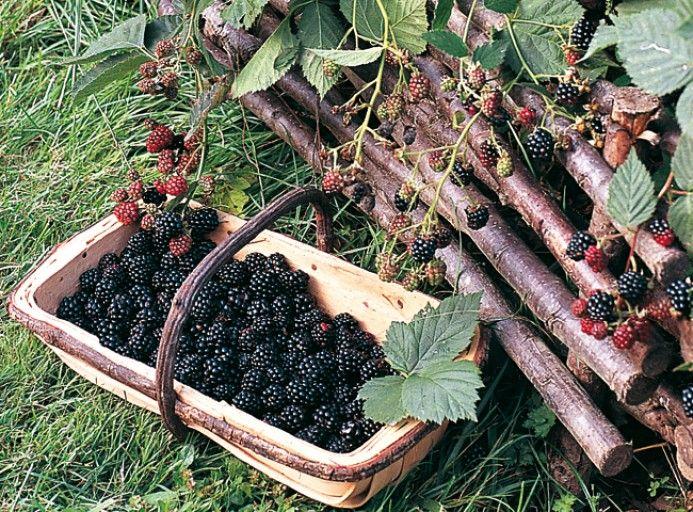 La culture du mûrier Jardin fruitier, Jardin potager et
