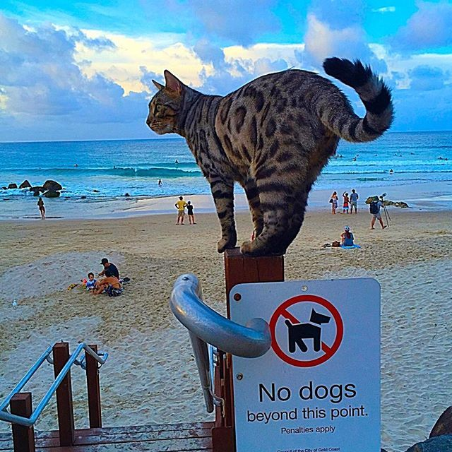 Boomer At Snapper Rocks Just Before The Start Of The Quiksilver Pro Surf Contest Adventure Cat Cats Cats And Kittens