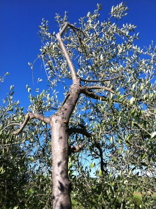 How To Prune Olive Trees Pruning Olive Trees Olive Tree Olive Trees Garden