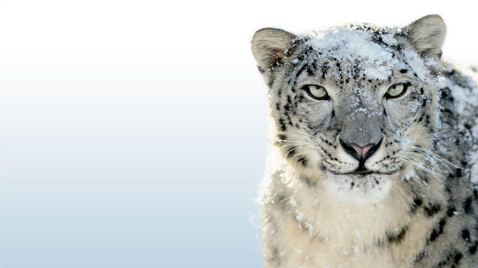 Best Leopard Images On Pinterest Animals Leopards And Snow Leopard Wallpaper Snow Leopard Leopard Wallpaper