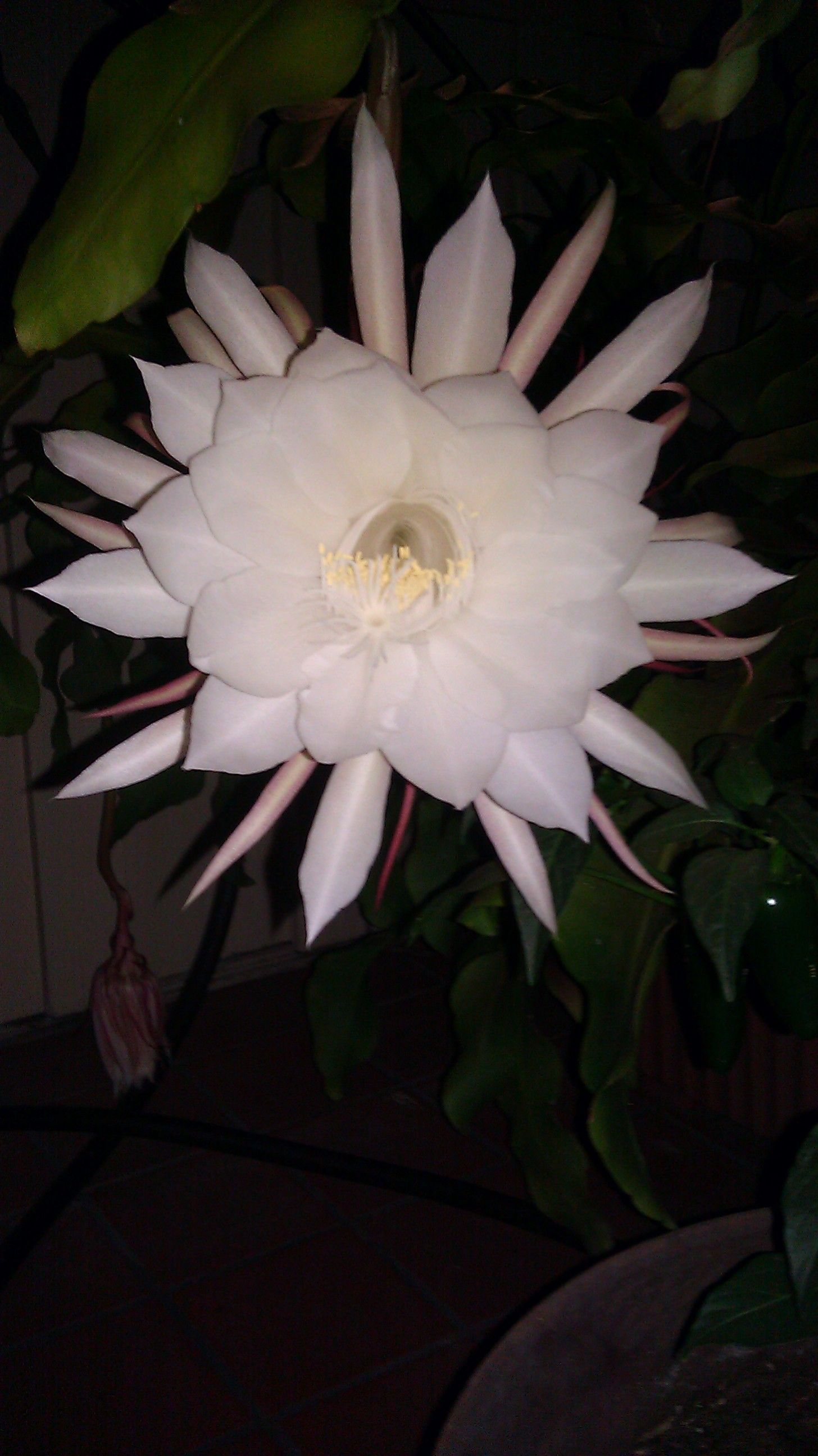 Night Blooming Cerius Blooms Once Around 10 Pm And The Flower Is