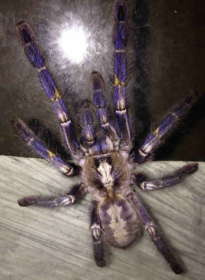 Gooty Sapphire Ornamental Tarantulas Large Tarantulas