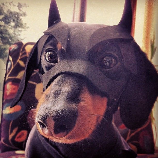 BATDOG is looking for some crime to solve ; ) #batdog #dachshund