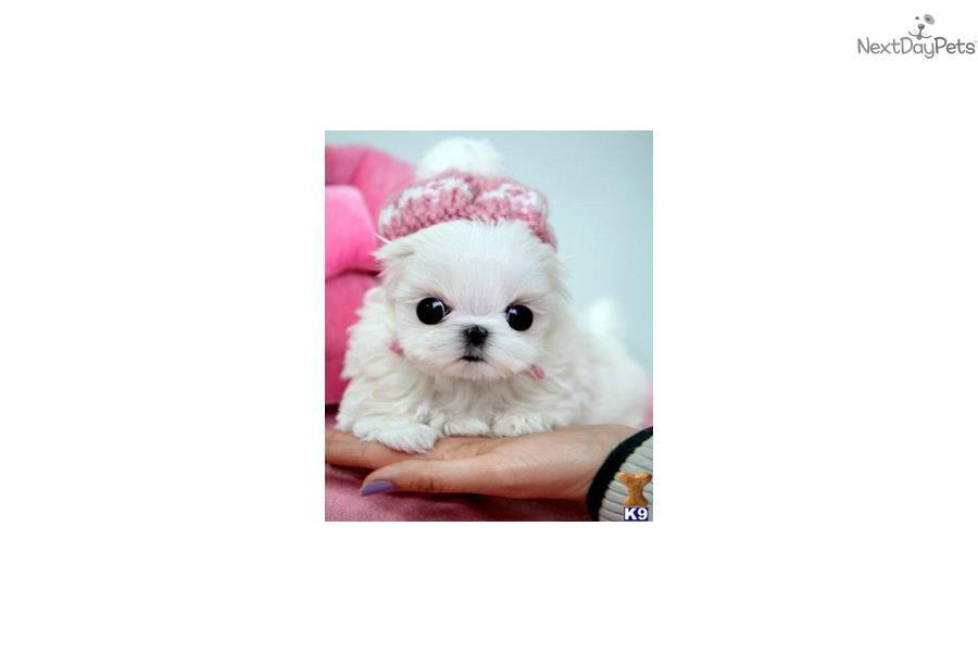 Maltese Puppy For Sale Near West Palm Beach Florida Eaccadab