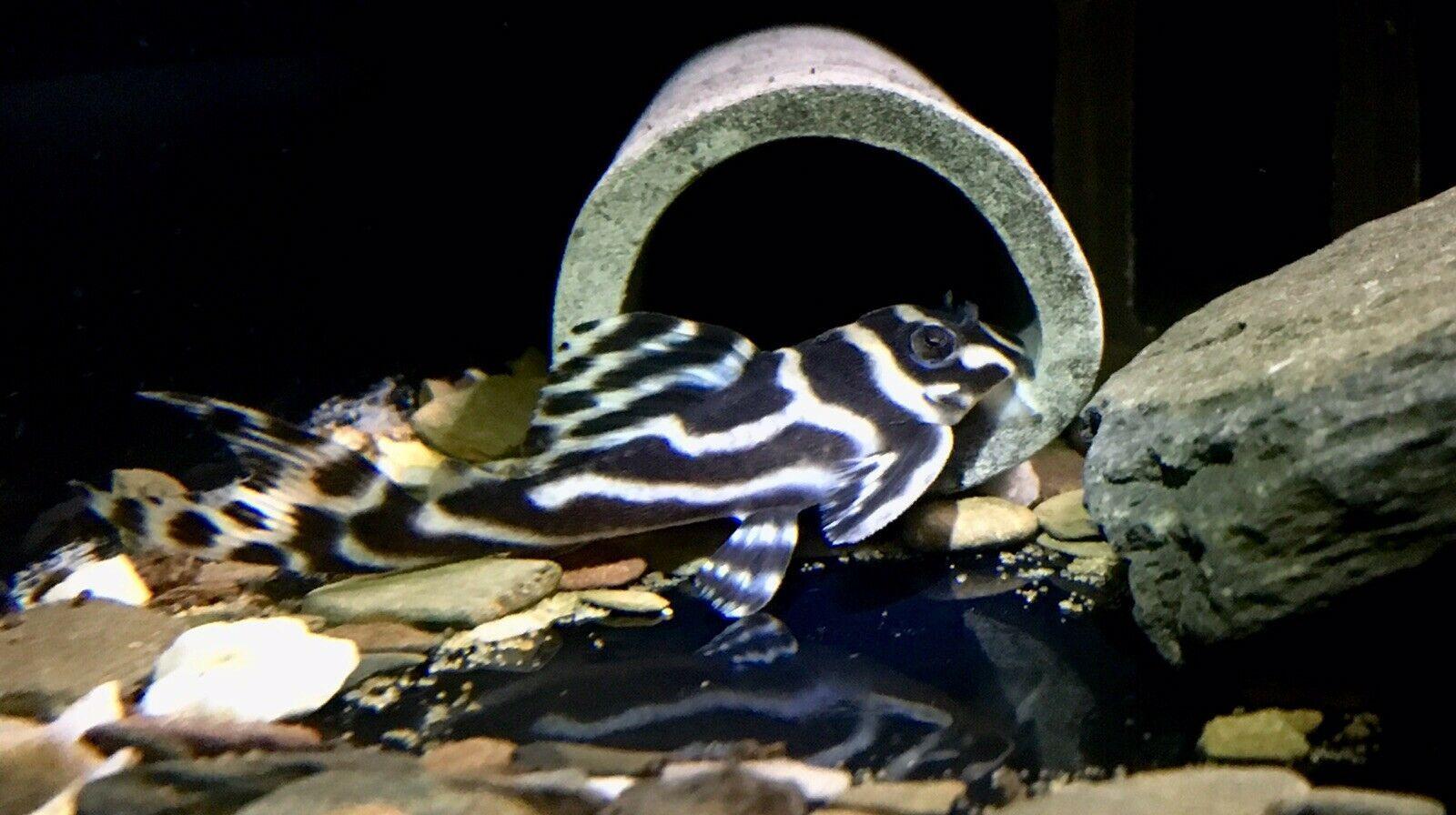 L046 Zebra Pleco Plecostomus Zebra Species