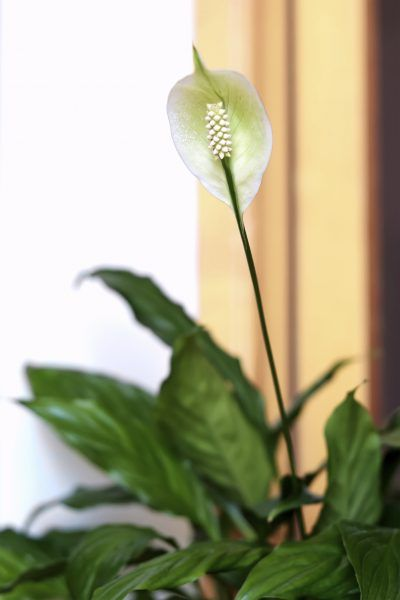 Peace Lily Pruning Tips On How To Prune Peace Lily Plant Peace Lilies Are Excellent Houseplants But What Do You Do Peace Lily Plant Lily Plants Peace Lily