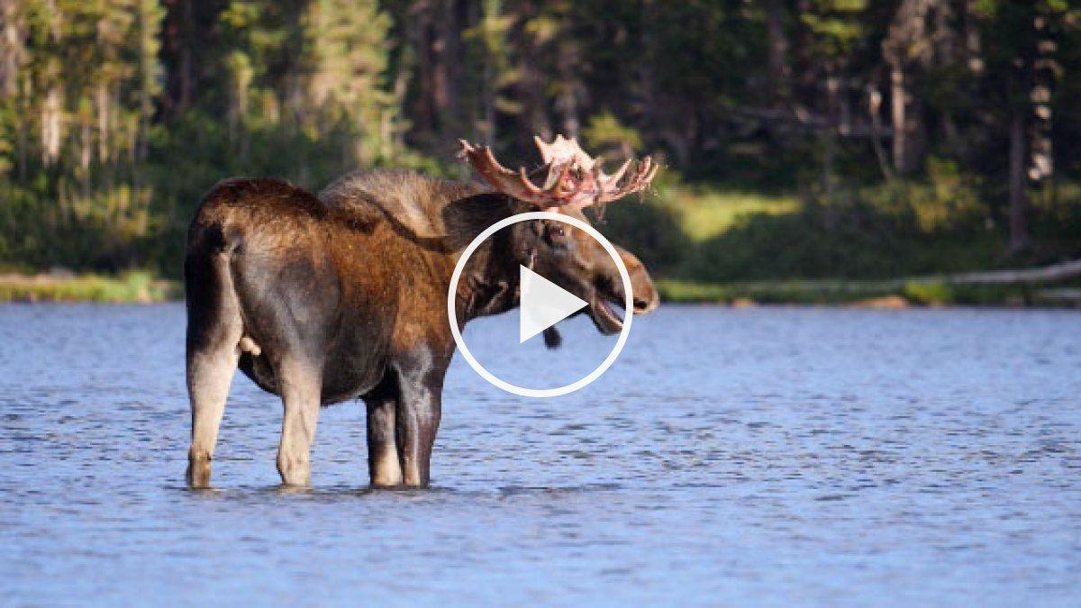Moose on the Loose Adventure center, Moose habitat