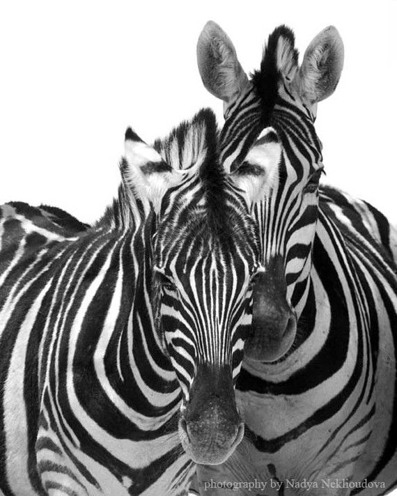 Two zebras black and white animal photography 8x10 by oceloteyes 20 00