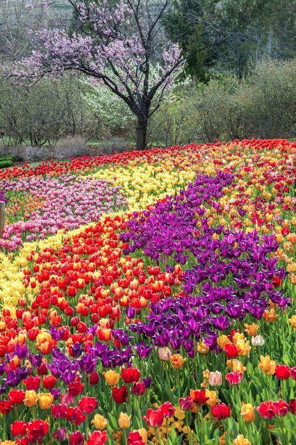 My Musings Tulip Festival At Thanksgiving Point Beautiful Flowers Garden Beautiful Gardens Beautiful Flowers