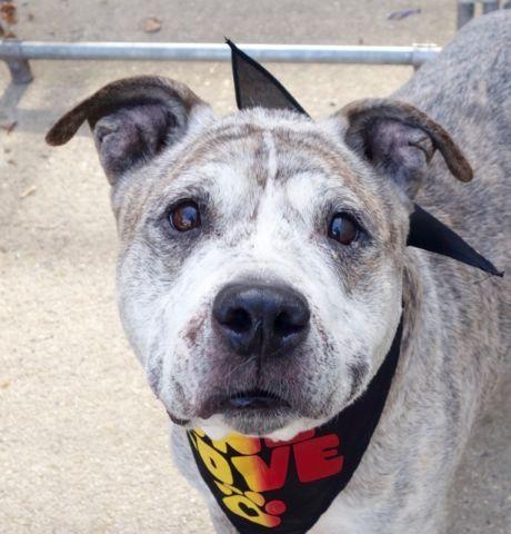 Falkor A1095508 Grey Dog Dog Adoption Animal Help