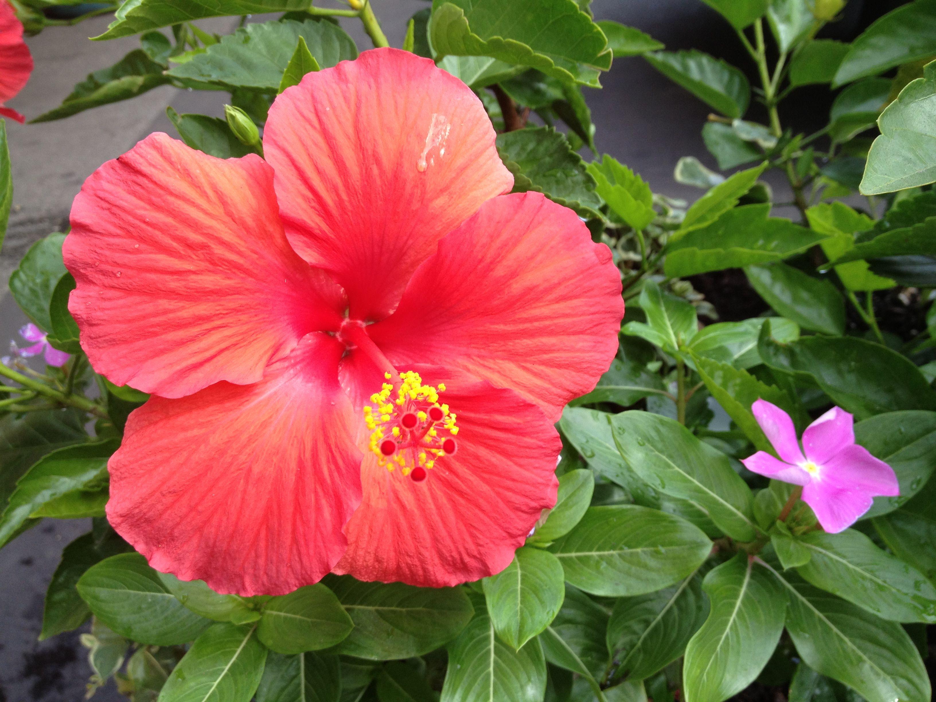 Amapola My Fav Flower Hibiscus Flowers Blossom