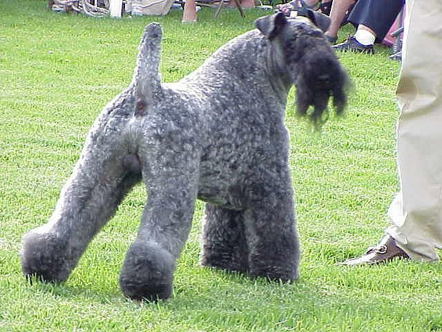 Kerry Blue Terrier This Is Our Dog S Sire He S A Big Deal