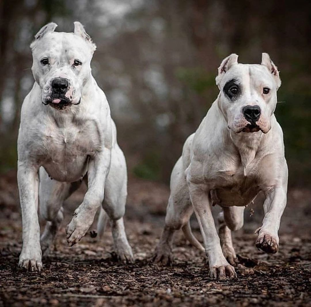 Follow Buff Dogs Posted Withregram Thedogopower Racing Time In 2020 Dog Argentino Dogo Argentino Dog Dogs