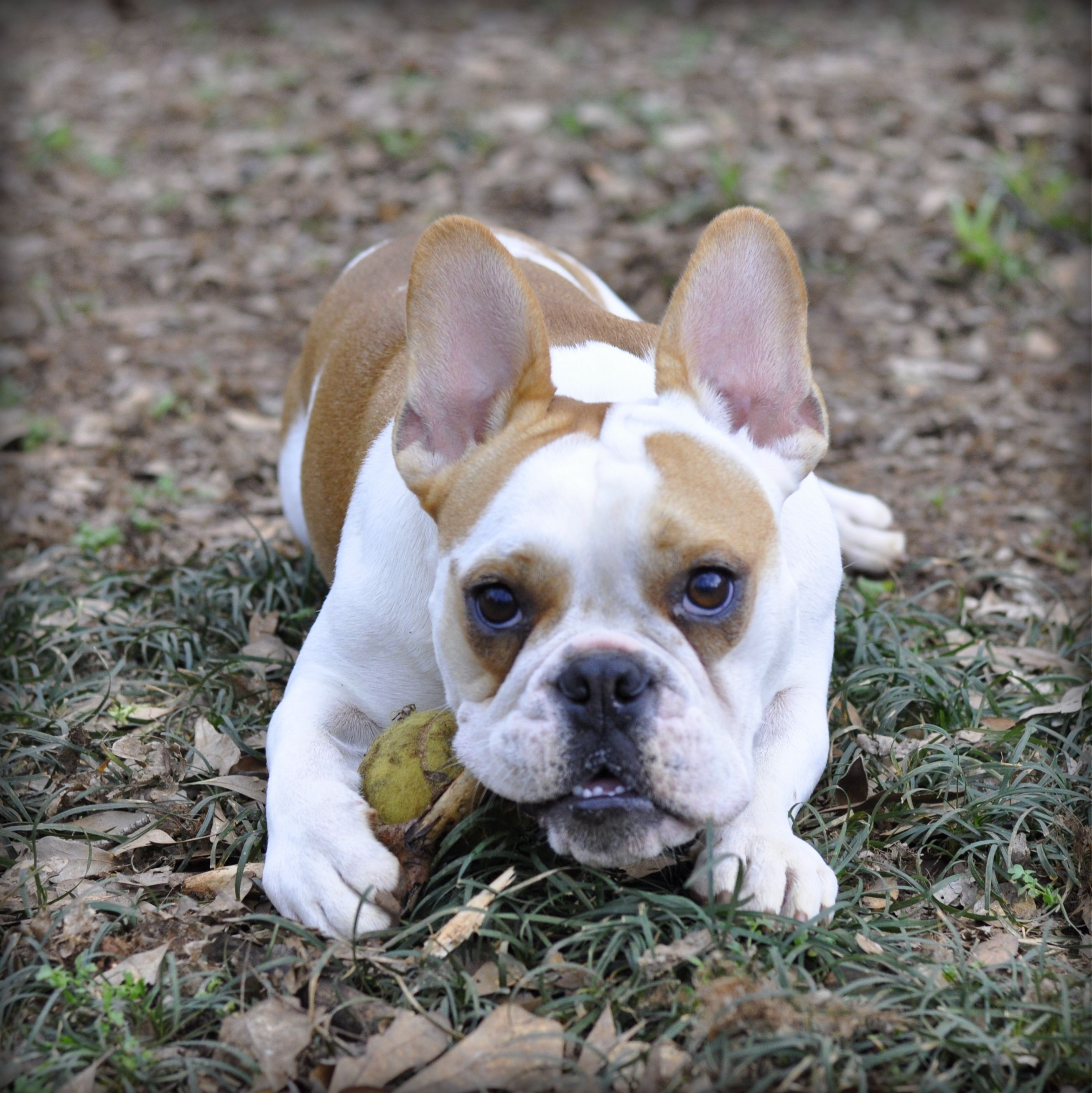 french and english bulldog mix Cute animals, French