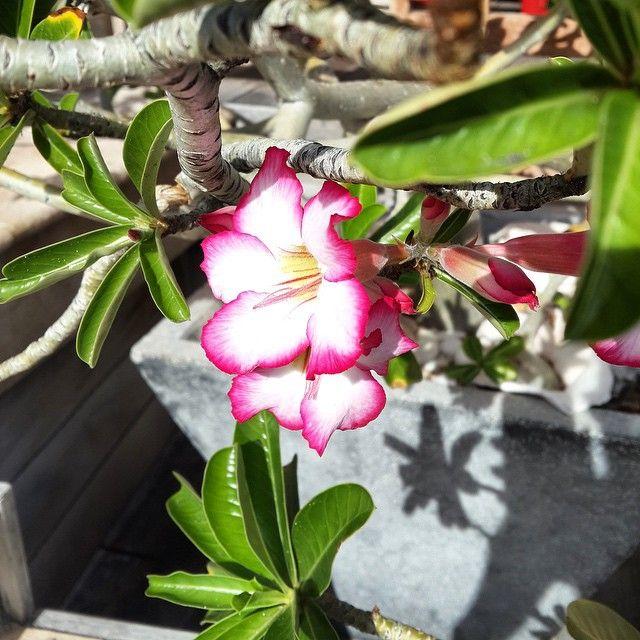 La rose du désert.  Bon dimanche !  #fleur #rose #beautiful