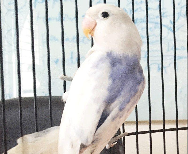 42  Gambar Burung Lovebird Pasput HD Paling Unik