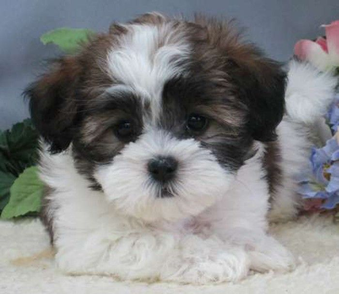 malshipoo Google Search Poodle dog, Shorkie puppies