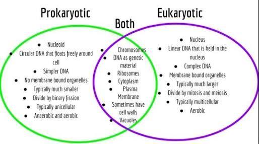 Eukaryotes And Prokaryotes Nucleus Nucleoid Nucleolus Venn Diagram