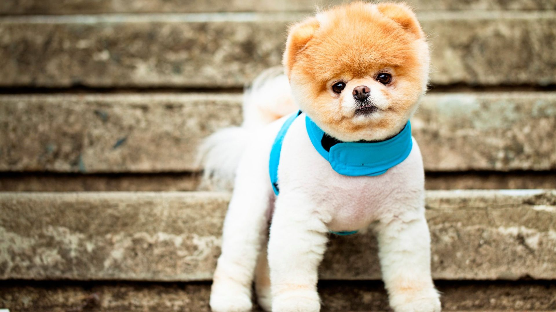 Boo The Cutest Dog Wallpapers Free Download Cute Dog Wallpaper