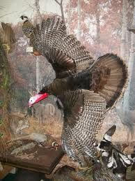 Google Image Result for http://i28.photobucket.com/albums/c248/rgswildlife/Birds/Turkeyinflight.jpg