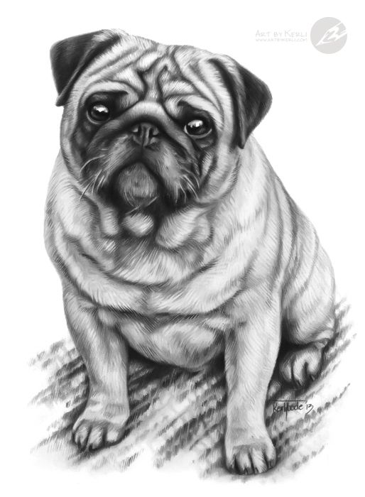 Jansson Pug Graphite Pencil Drawing By Kerli Toode Art By