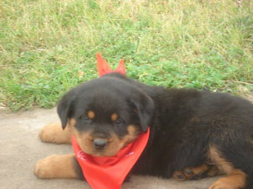 100 German Rottweiler Big Head Breed Big Bone Puppy With Images