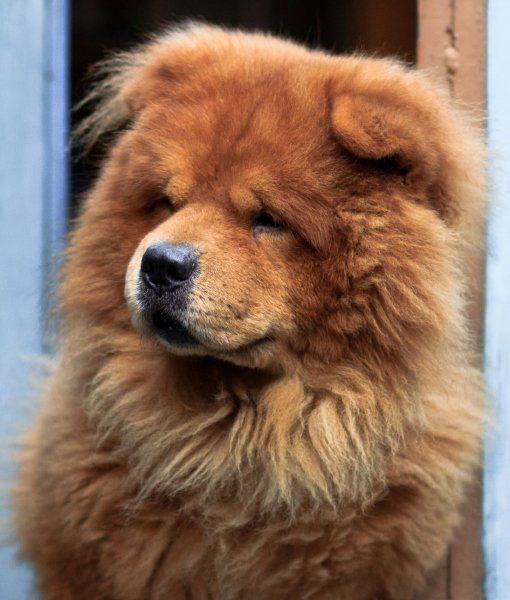 10 Spitz Dog Breeds Spitz Dog Breeds Spitz Dogs Dogs