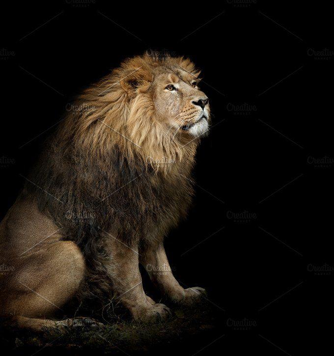 Lion On Black Lion Animal Photo Funny Animal Photos