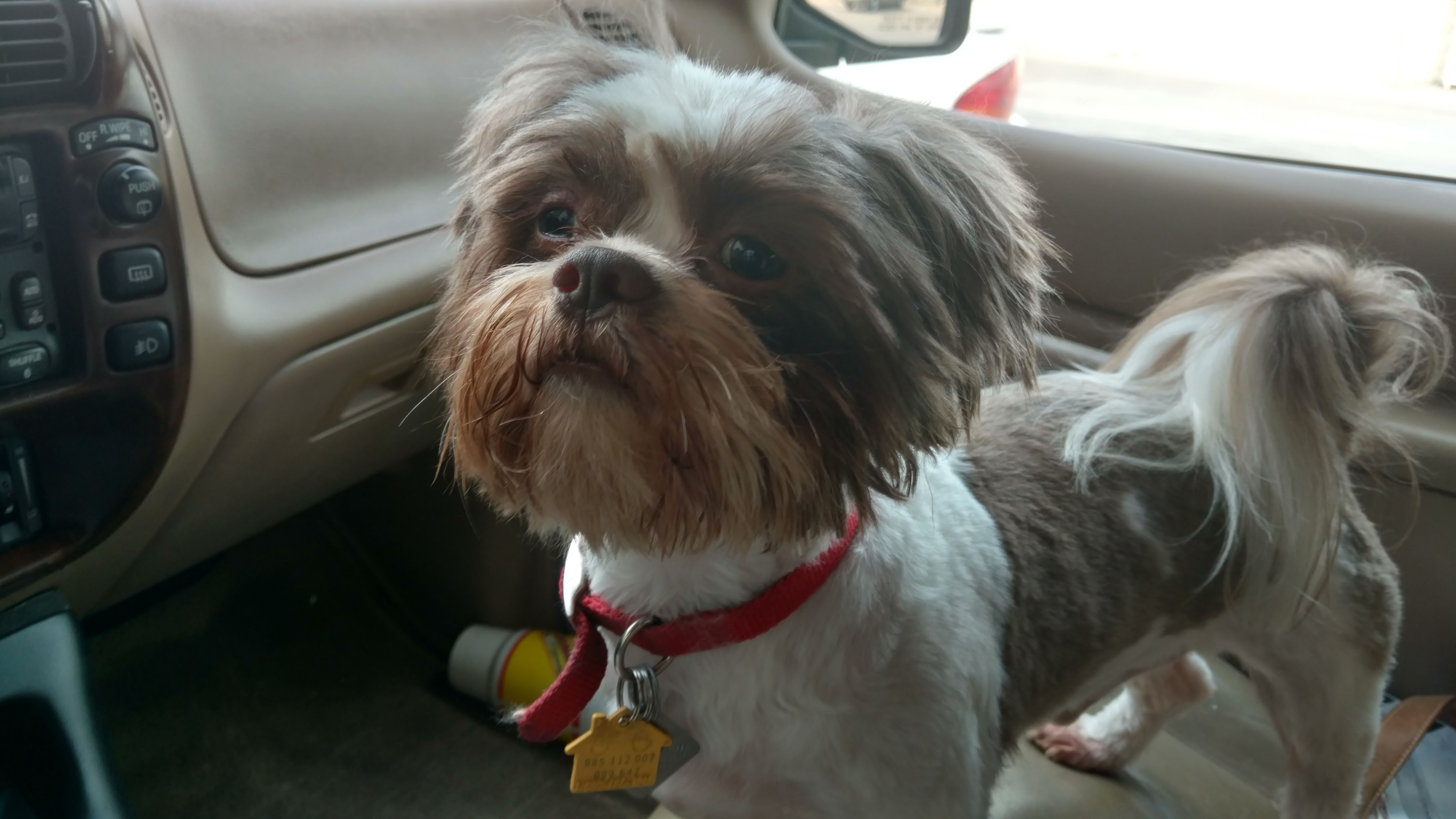 Shih Tzu dog for Adoption in Ft. Worth, TX. ADN533970 on