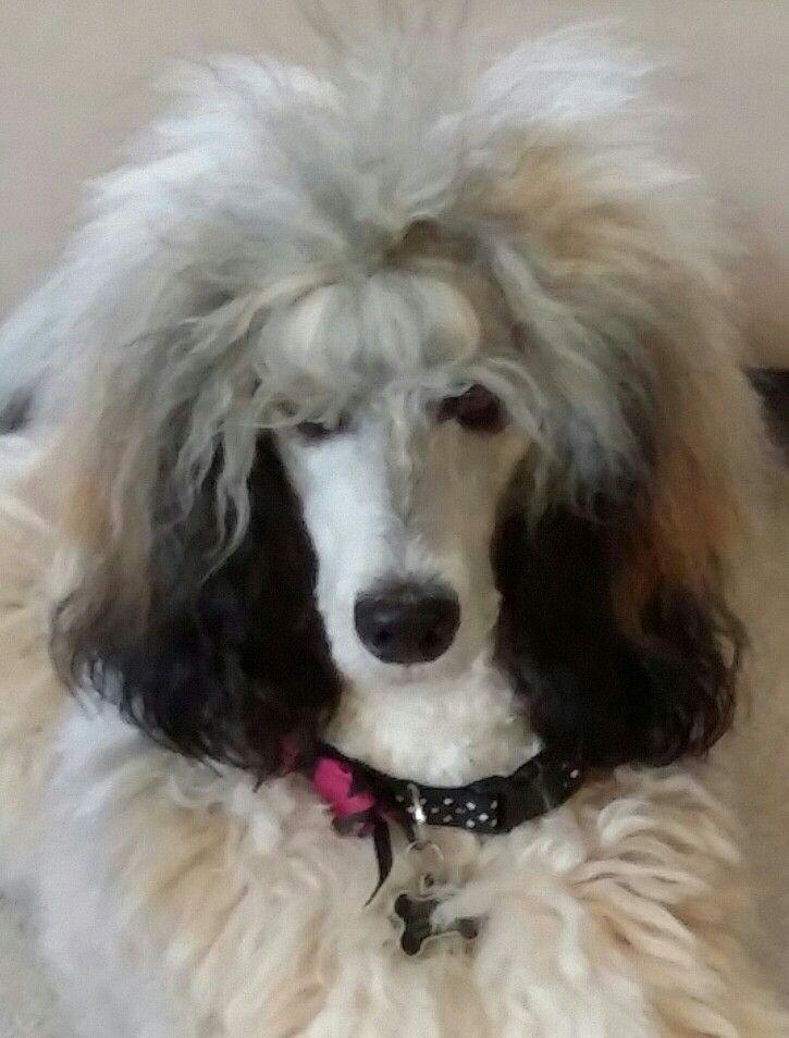 Miss Pippa Sable Standard Poodle Standard Poodle Poodle Haircut Poodle