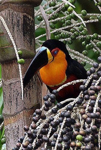 Ramphastos vitellinus (tucano-de-bico-breto / Channel-billed Toucan)
