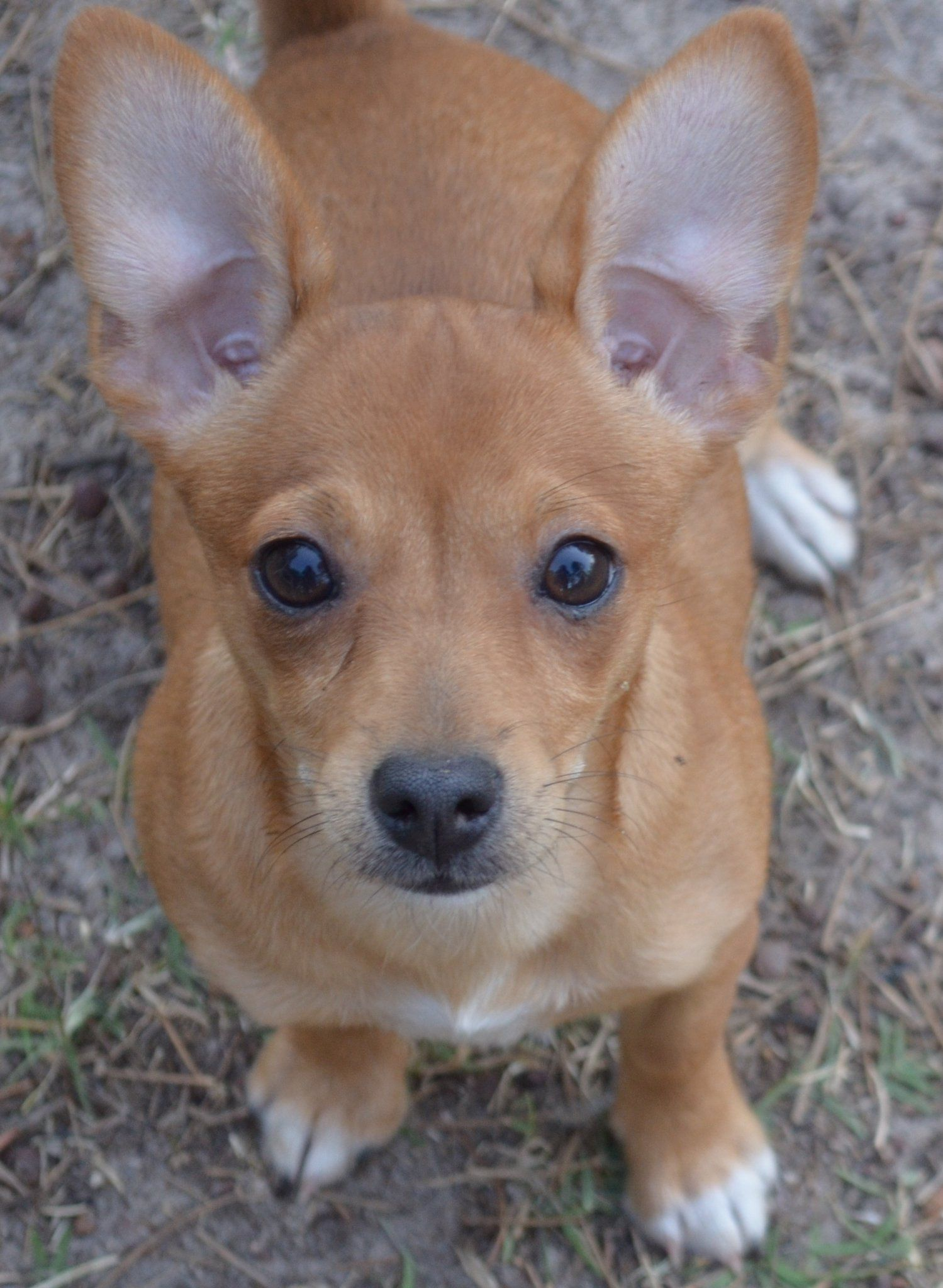 Rat Terrier Chihuahua Mix This Is What Harley Skylars Babies