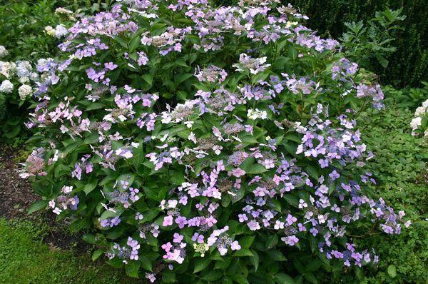Hydrangea Macrophylla Mariesii Perfecta Hortensia A Fleurs Plates