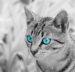 silver cat with blue eyes riversplash warrior silver tabby she
