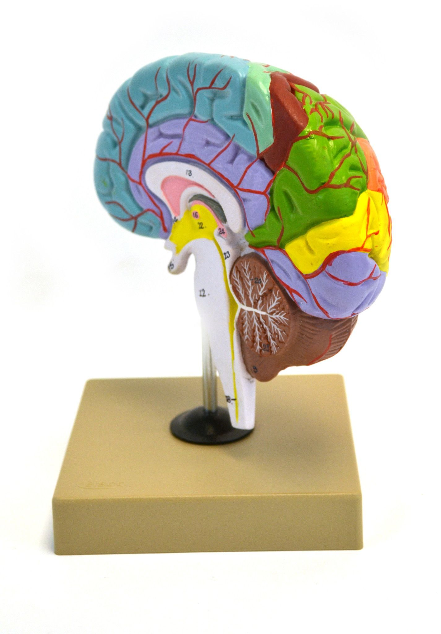 Eisco Labs Human Model of Functional Brain - 1/2 Size   Your ...