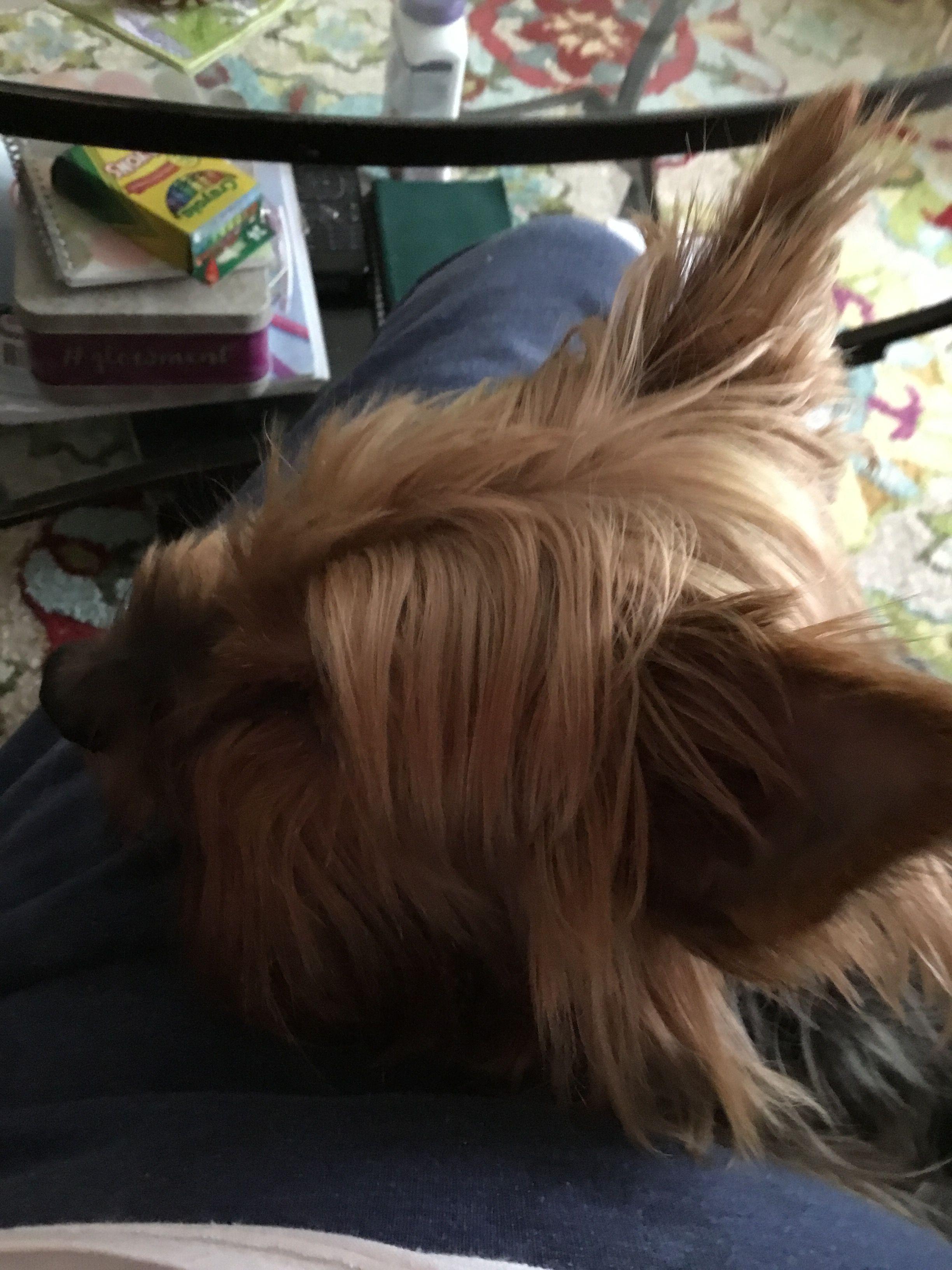 Pin by Joyce Ruth Trapasso on Yorkies Yorkie, Dogs, Animals