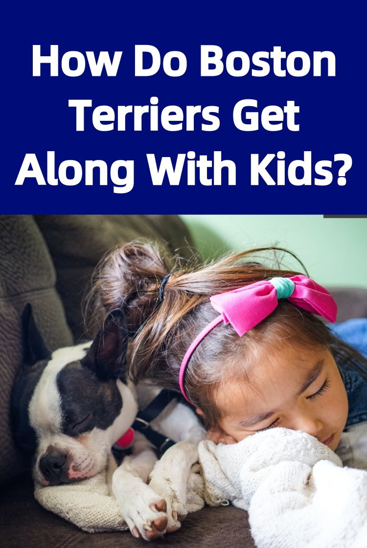 Are Boston Terriers Good With Kids Child Friendly Dogs Dogs And Kids Boston Terrier